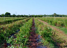 blueberry farm for sale, cbc saunders real estate, lakeland, fl