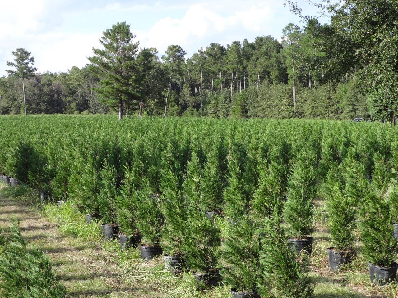 Trees - Tennessee Wholesale Nursery