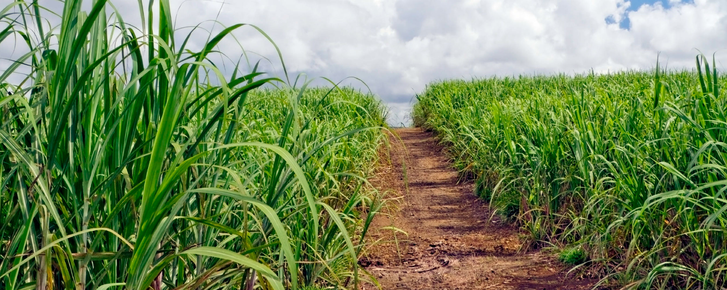 Photo of a sugarcane field in Florida