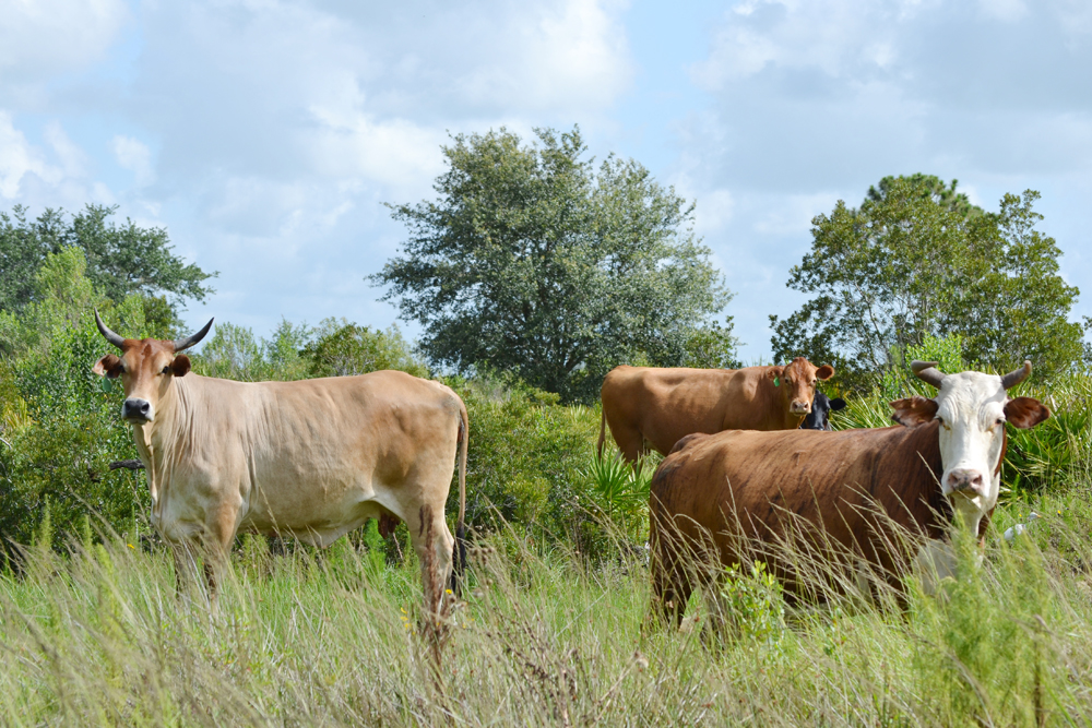 SOLD: DeSoto County Ranch and Farm in Arcadia, Florida | Saunders