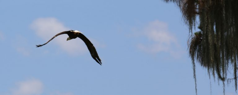 Photo of bald eagle in central florida