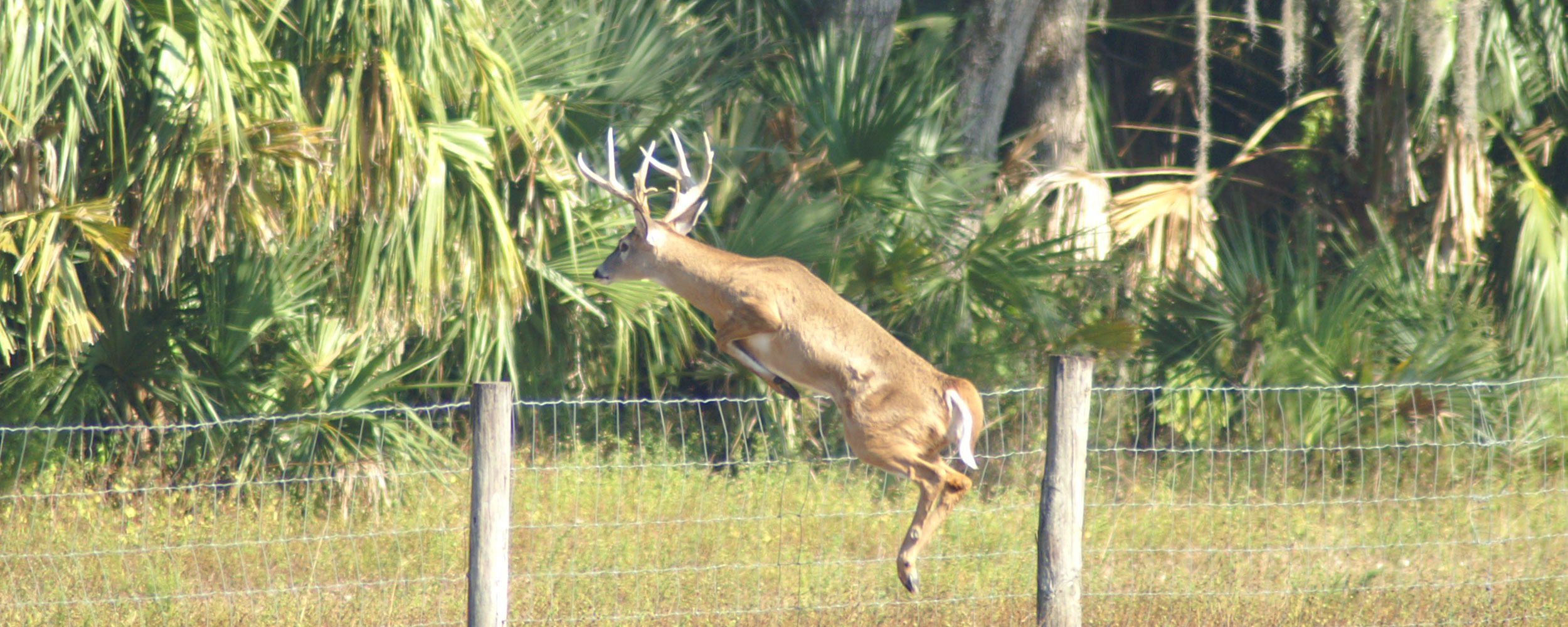 Photo of deer jumping fence on hunting property in Florida