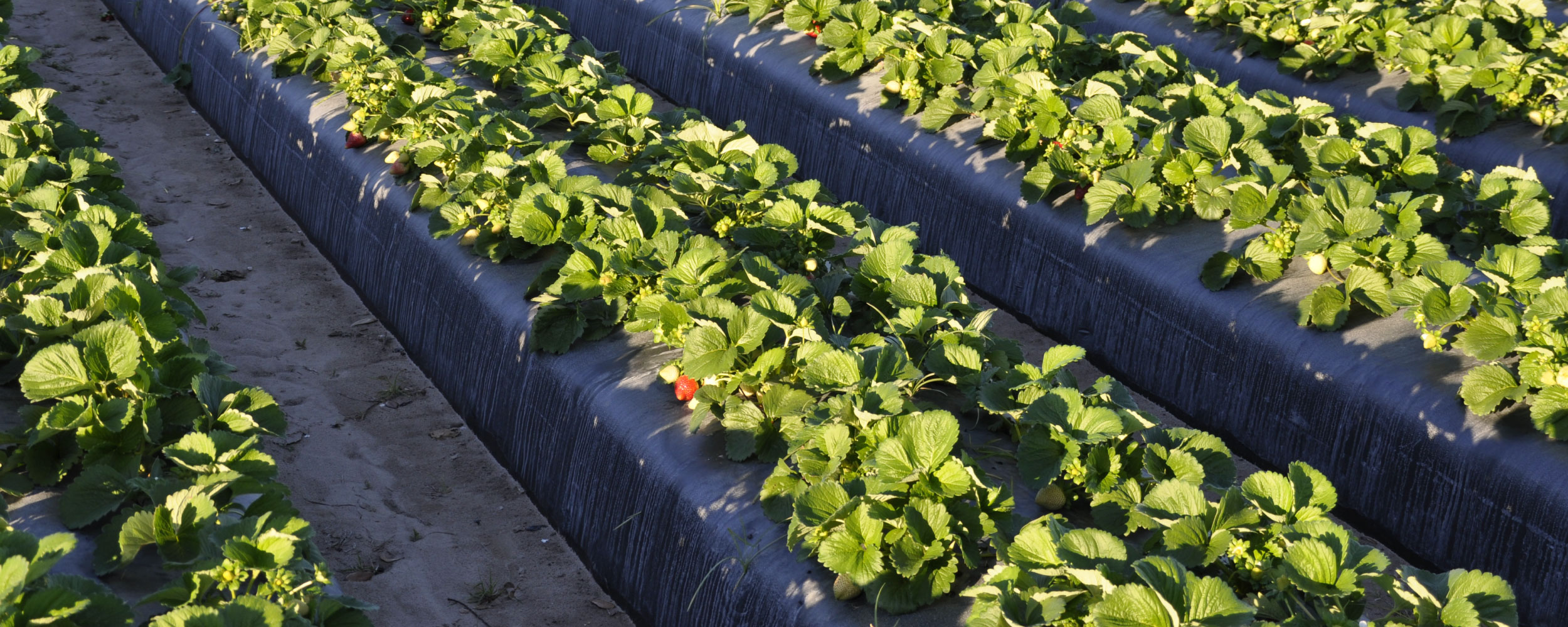 Photo of organic farm in Florida with strawberries