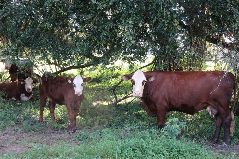 Cattle Photos - Marion County Ranch & Development - 1