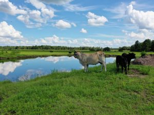 A photo of cows on Green Island Ranch
